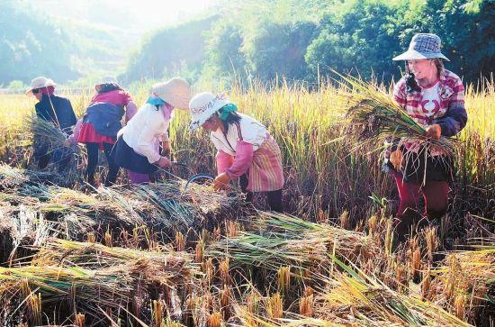 云南农村收割水稻